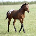Foal Stock 03