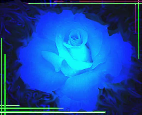 the blue rose by fetish