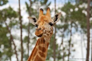 Giraffe by jpgmn