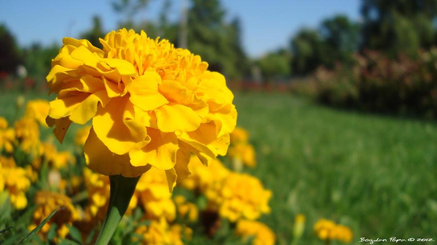 Yellow by bogdanpopa