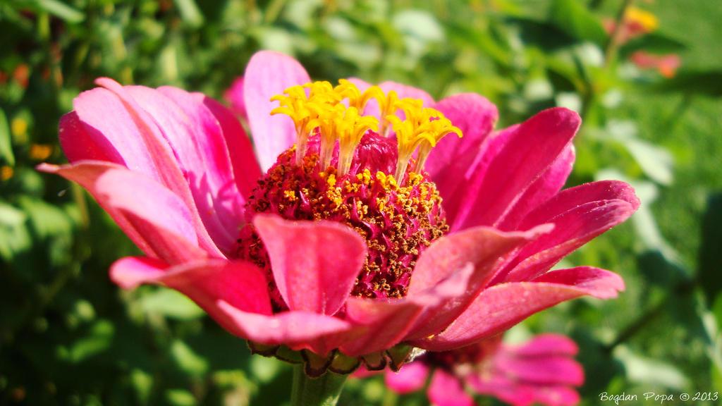 Pinktastic by bogdanpopa