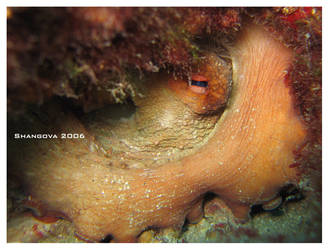 Sleepy octopus -underwater by Shangova