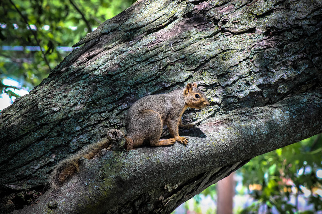 Young Squirrel  (1 of 1) by alucard214