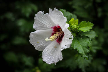 Raindrops on a hibiscus by alucard214