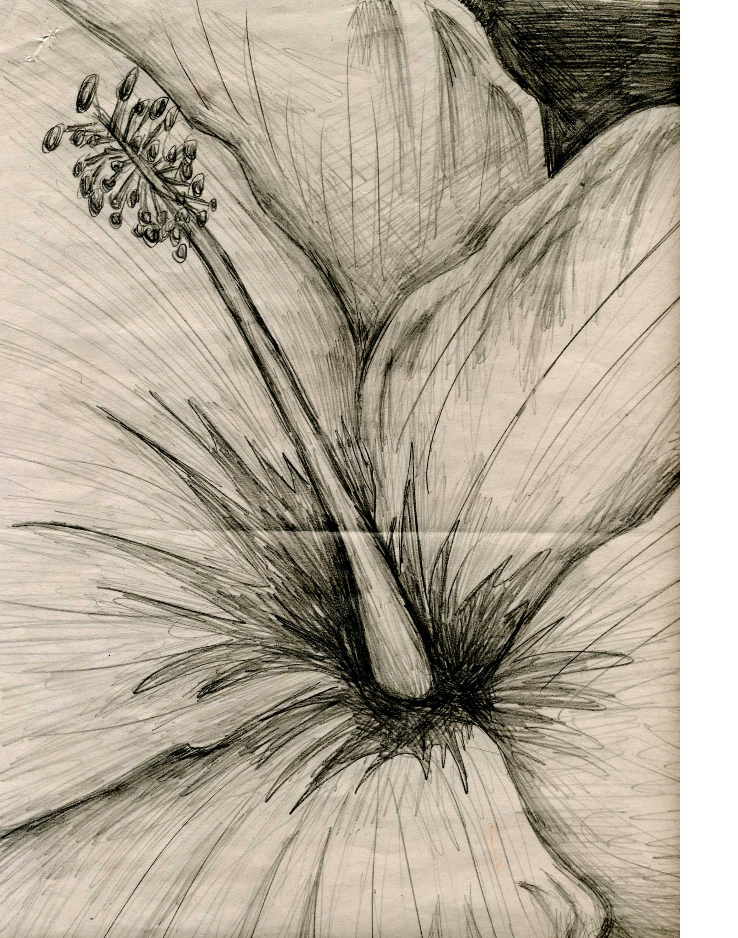 Hibiscus sketch by wac...