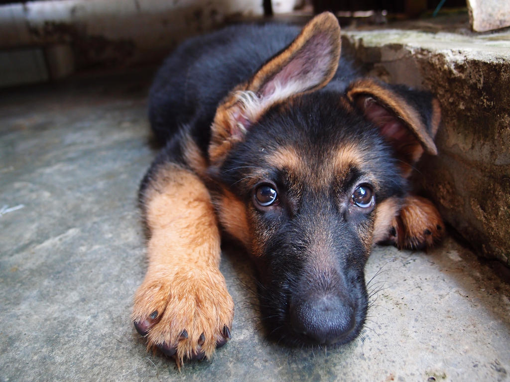 how to train a baby german shepherd