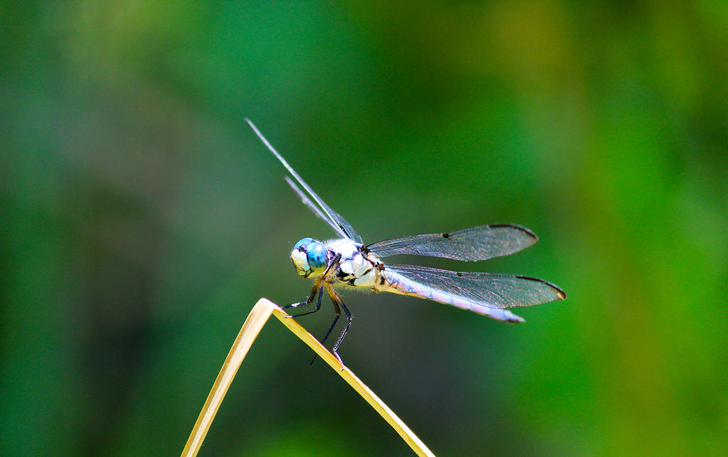 Blue-dragonfly by winterface