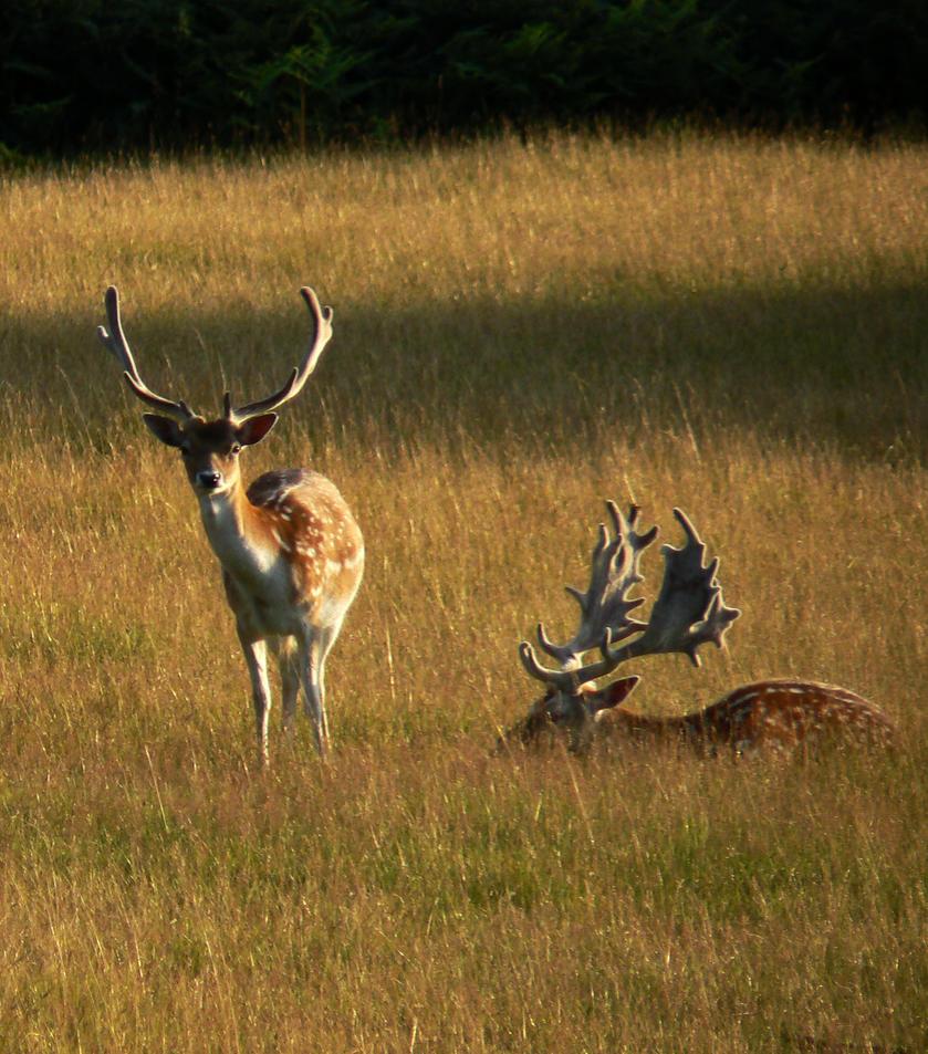 Deer by captivity87