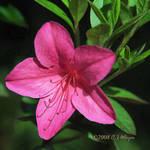 Pink Azalea by e-CJ