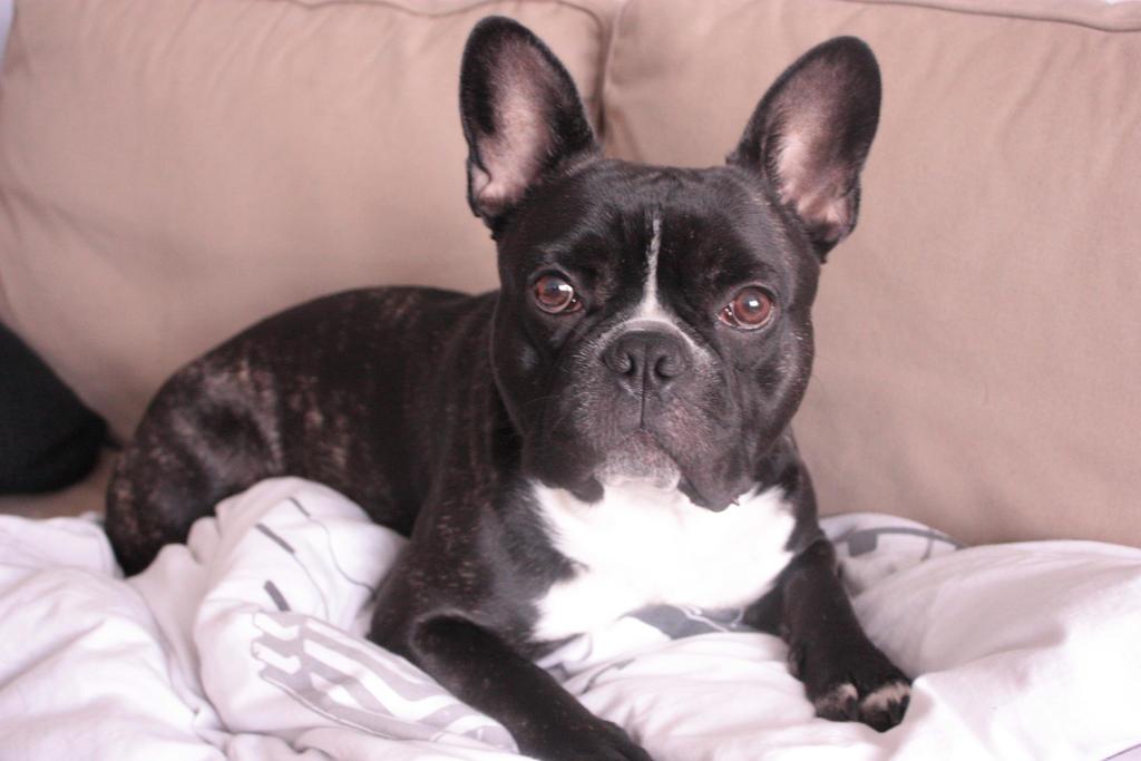 French Bull Dog Puppy Black Brindle