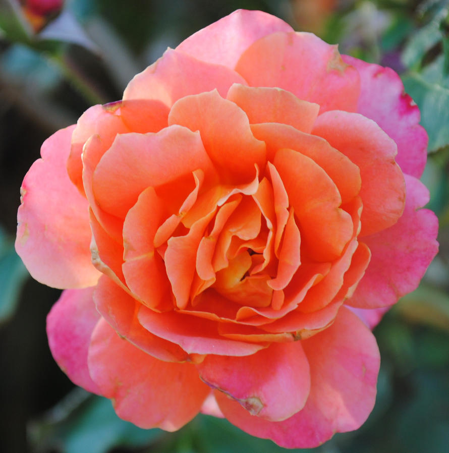 Orange pink flower by nekikochan on deviantart orange pink flower by nekikochan mightylinksfo