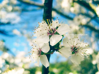 mirabelle blossoms: six by ProZombie