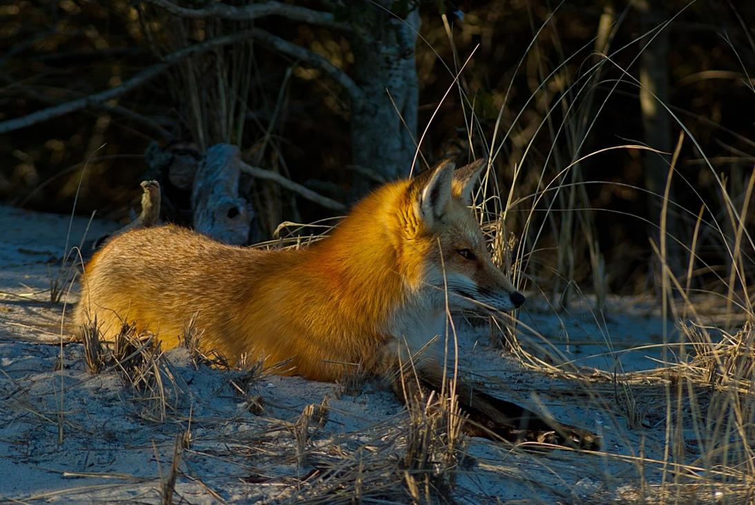 Resting Fox by xxdigipxx