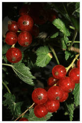 nightberries
