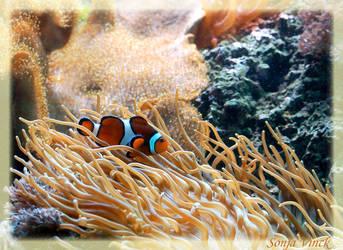 Clown Anemonefish by Lentekriebel
