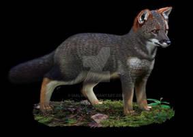 Darwin fox