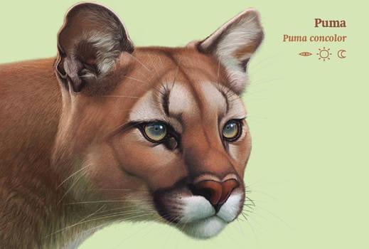 Puma by uialwen