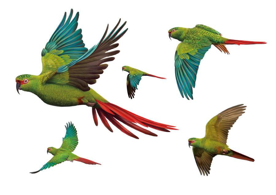 Enicognathus leptorhynchus by uialwen