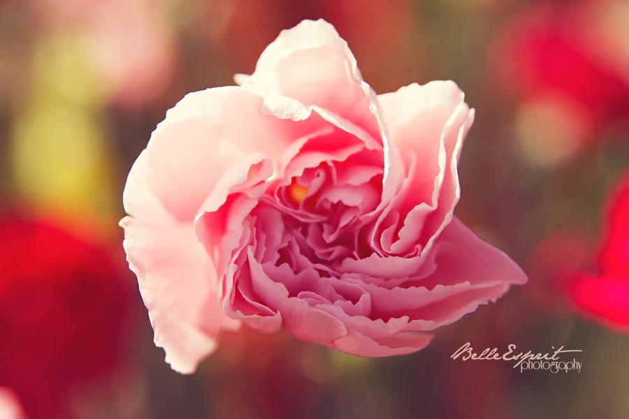 Ruffled Pink by BelleEsprit