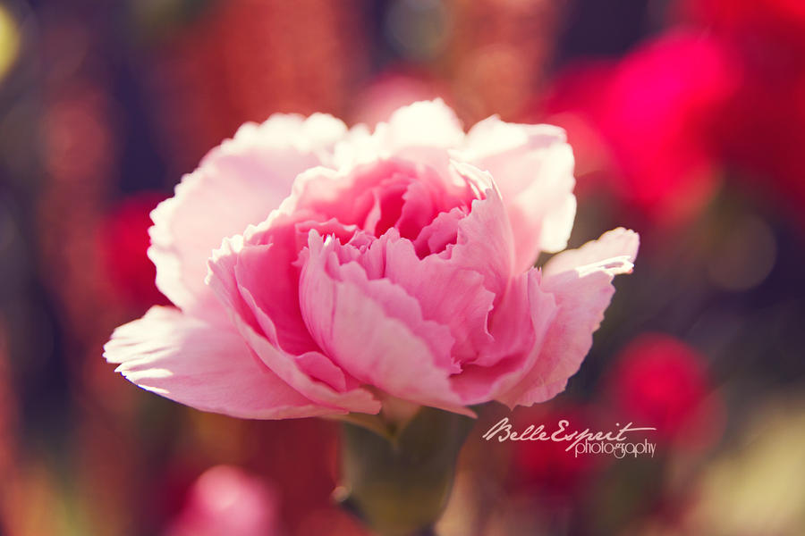Ruffled Pink II by BelleEsprit