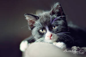 Diesel - Polydactyl Kitten by BelleEsprit
