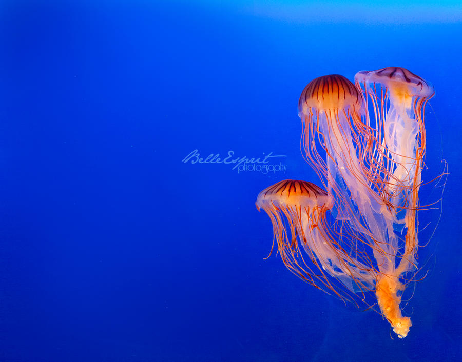 Jellyfish by BelleEsprit