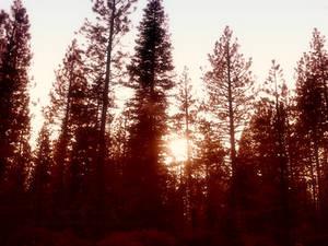 Forest Sillhouette II