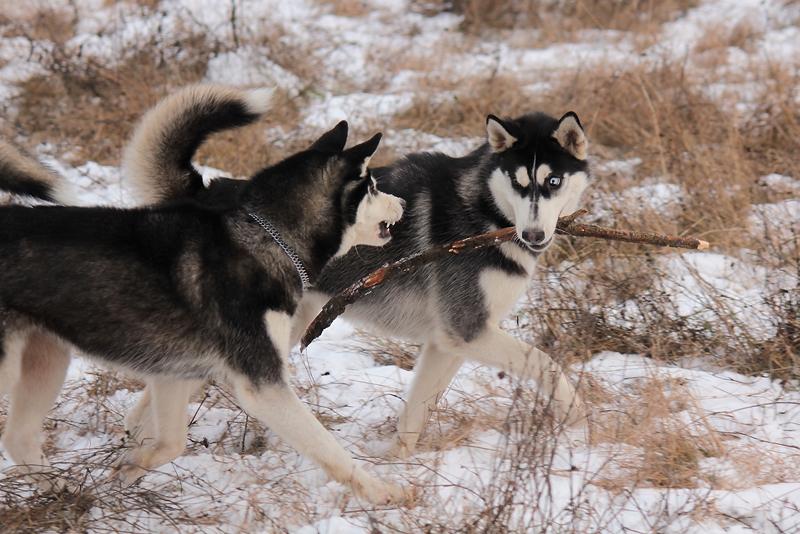 Siberian Huskies 2607 by DeingeL-Dog-Stock