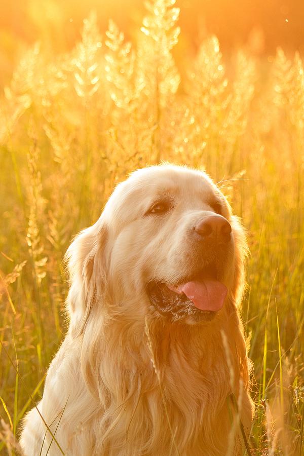 Golden Summertime by DeingeL-Dog-Stock