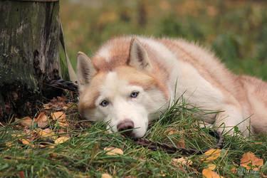 Sorrow in his eyes by DeingeL-Dog-Stock