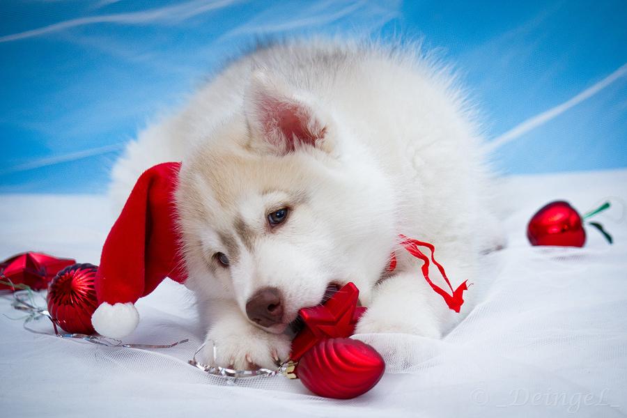 Husky Christmas Puppy.Siberian Christmas Husky By Deingel Dog Stock On Deviantart