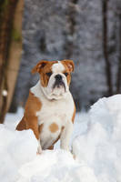 English Bulldog by DeingeL-Dog-Stock