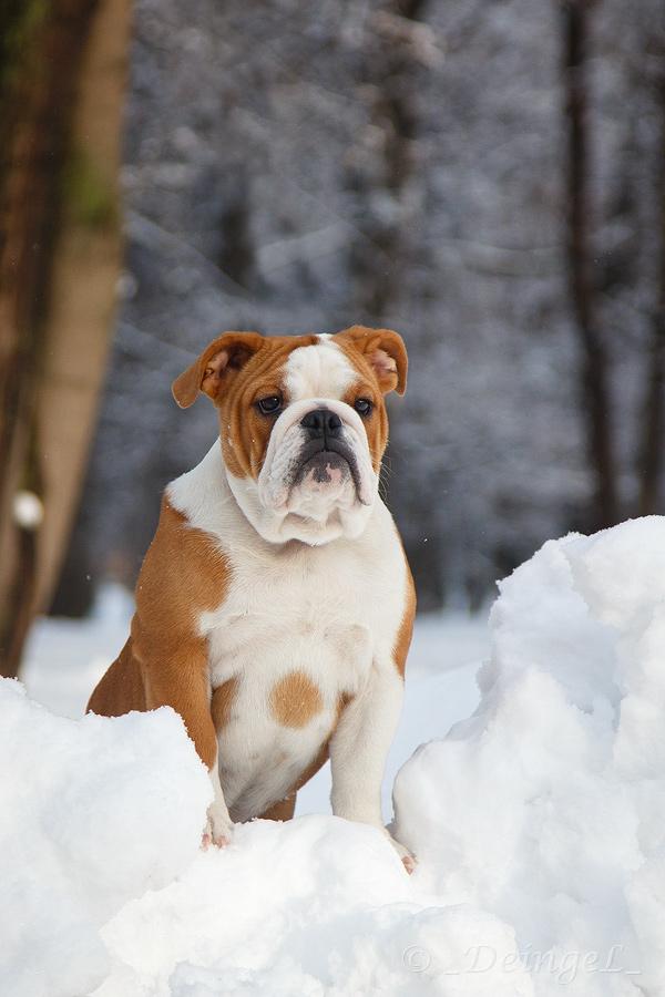 English Bulldog by DeingeL-Dog-Stock