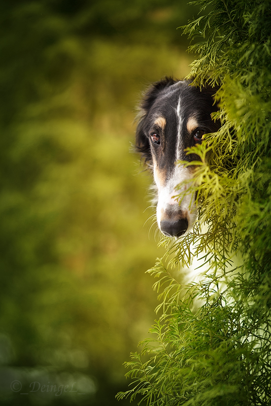 Borzoi in Secret Garden by DeingeL-Dog-Stock