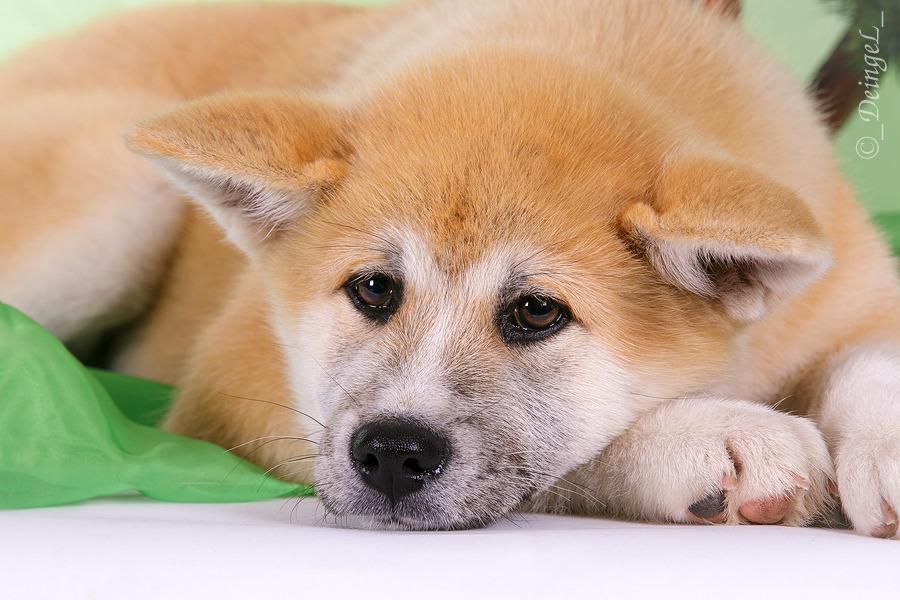 Beautiful eyes of Akita puppy by DeingeL-Dog-Stock