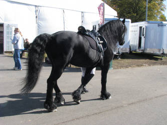 Friesian with tack2 by Night-Mother-Stock