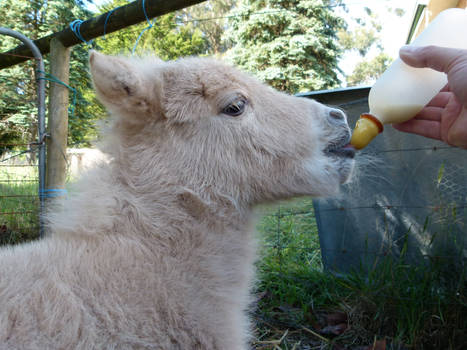 Feeding an orphan foal