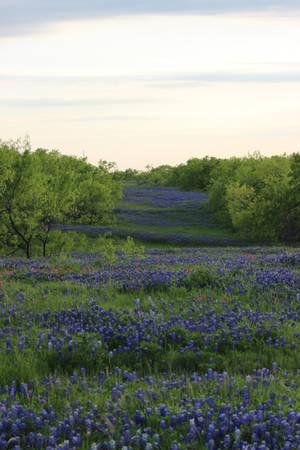 Bluebonnet Fields Forever