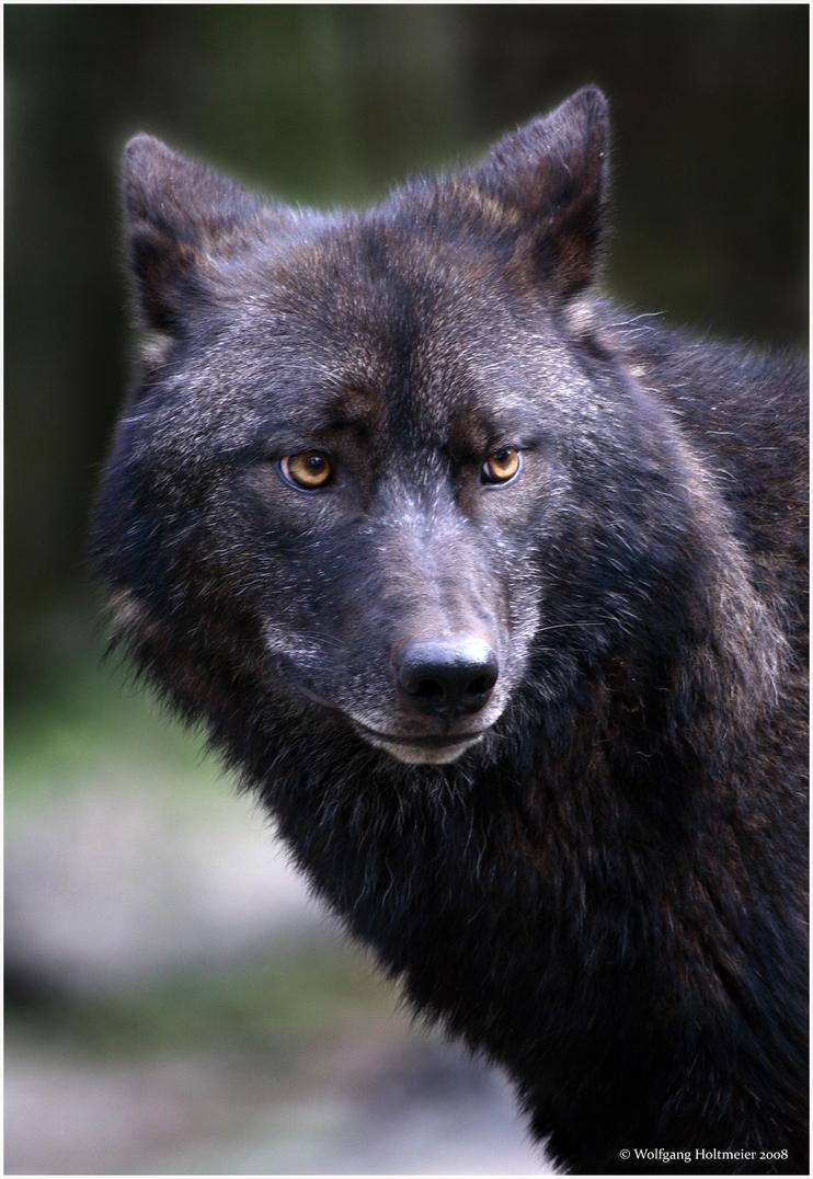 https://pre00.deviantart.net/3981/th/pre/f/2008/054/2/0/timberland_wolf_01_by_w0lle.jpg