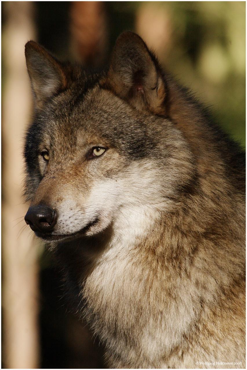 Grey Wolf by W0LLELight Brown Female Wolf