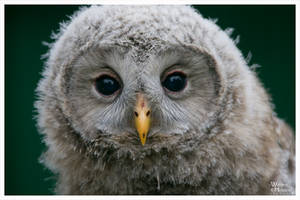 Young Owl Portrait by W0LLE