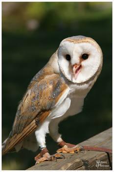 Barn Owl Portrait II