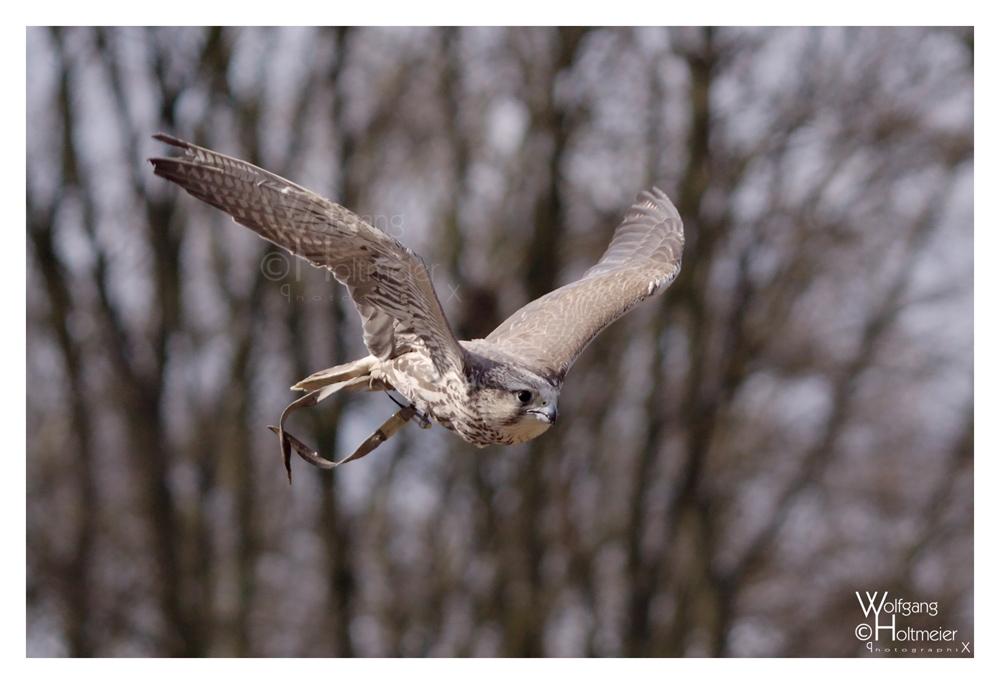 Falcon III by W0LLE