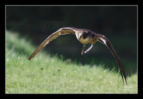 Peregrine Falcon by W0LLE