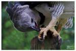 Harpy Eagle II - Feet