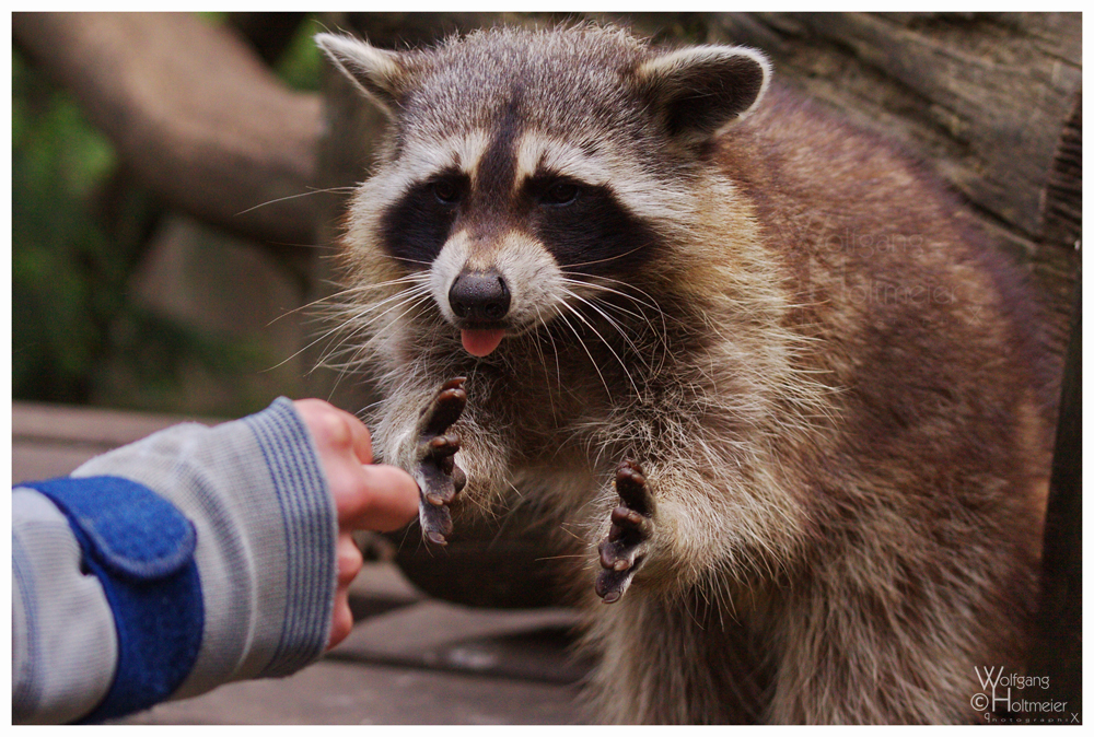Racoon I - Fingers are tasty by W0LLE