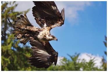 Haliaeetus vocifer by W0LLE