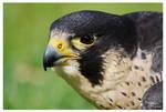 Peregrine falcon I