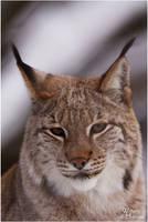2010-19 Lynx Portrait by W0LLE