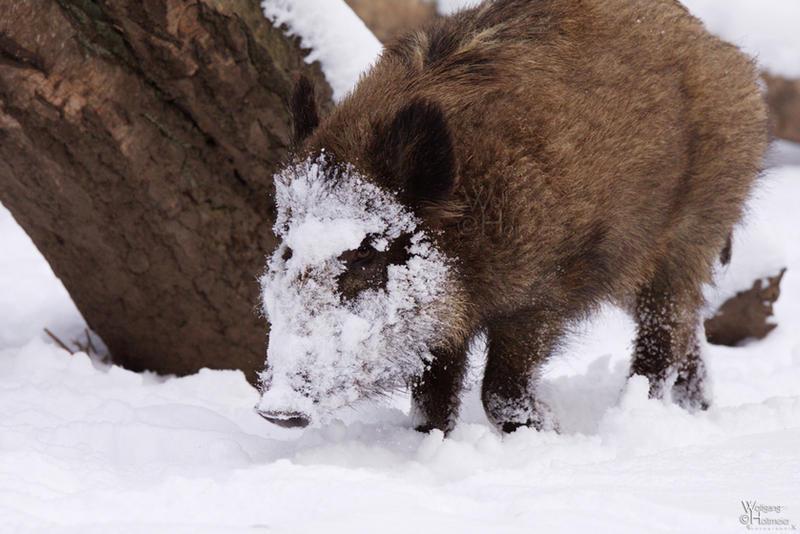 2010 122 boar on the rocks by w0lle on deviantart